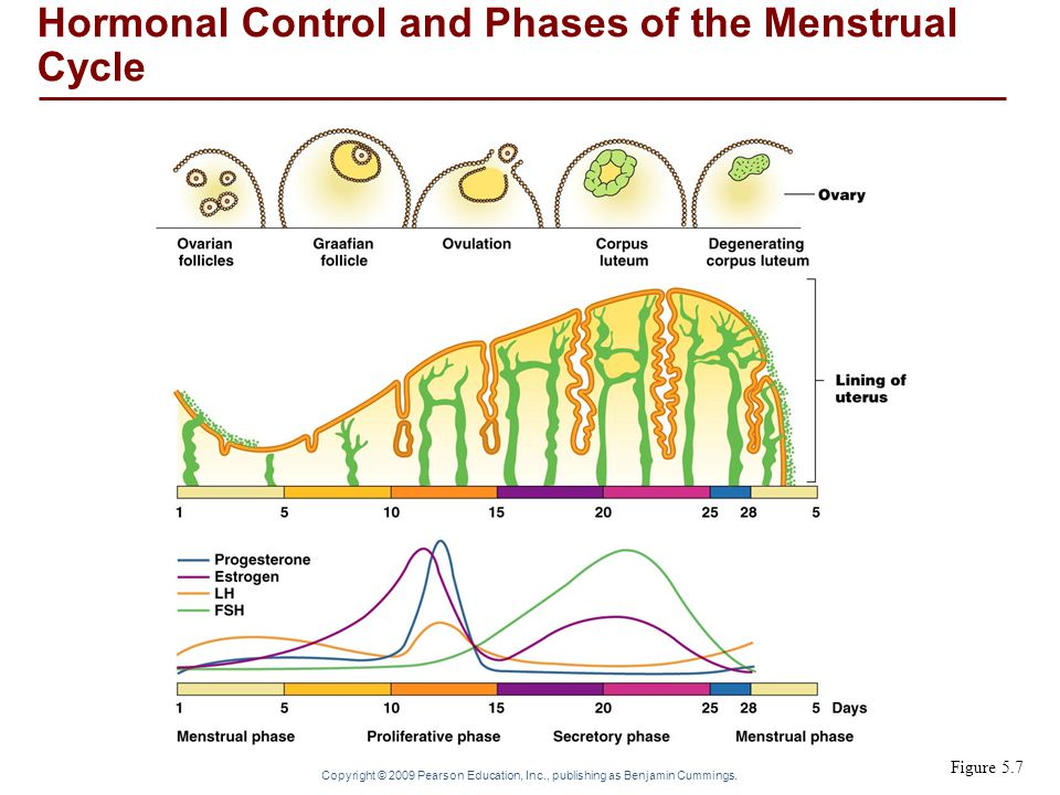 Copyright © 2009 Pearson Education, Inc., publishing as Benjamin Cummings. Figure 5.7 Hormonal Control and Phases of the Menstrual Cycle