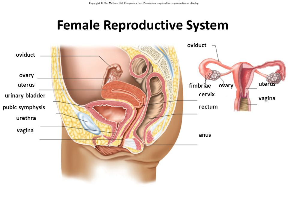 Copyright © The McGraw-Hill Companies, Inc. Permission required for reproduction or display. oviduct ovary uterus urinary bladder pubic symphysis uret