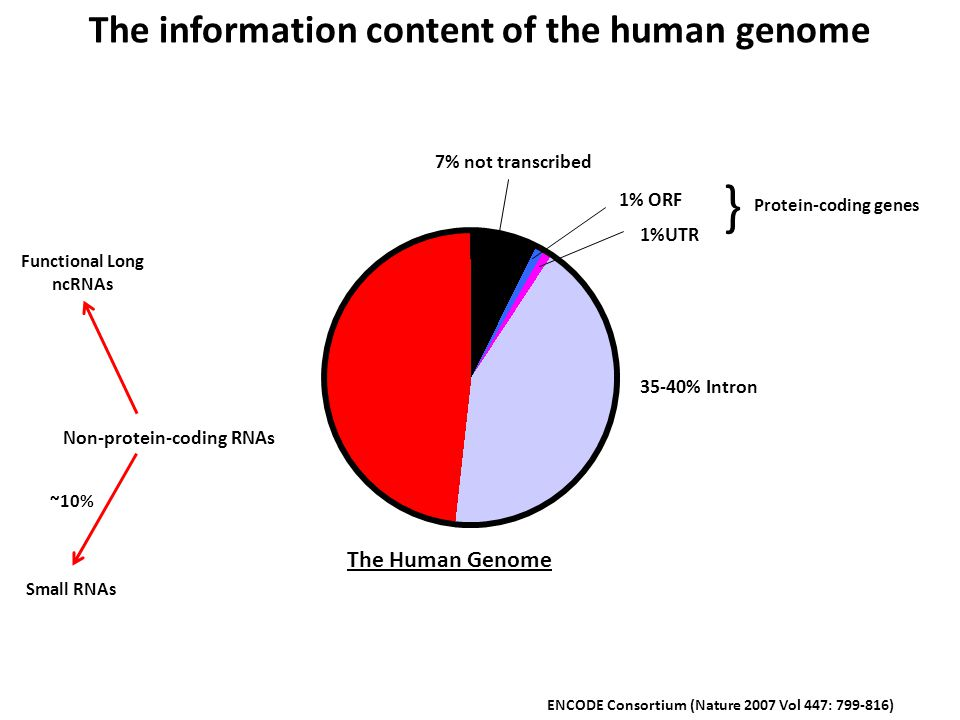 7% not transcribed 1% ORF 1%UTR 35-40% Intron Non-protein-coding RNAs The information content of the human genome ENCODE Consortium (Nature 2007 Vol 447: 799-816) The Human Genome Protein-coding genes } Small RNAs ~10% Functional Long ncRNAs