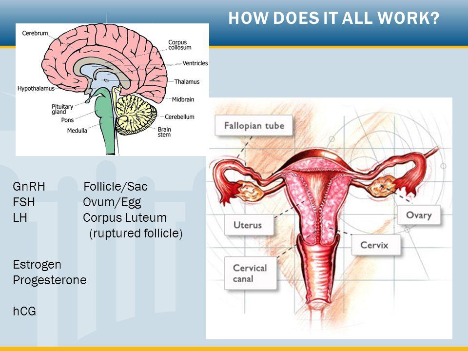 GnRH Follicle/Sac FSHOvum/Egg LHCorpus Luteum (ruptured follicle) Estrogen Progesterone hCG HOW DOES IT ALL WORK