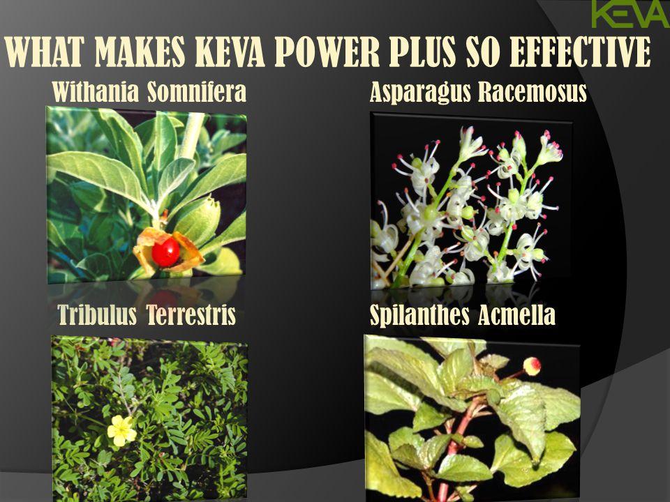 WHAT MAKES KEVA POWER PLUS SO EFFECTIVE Withania Somnifera Tribulus Terrestris Asparagus Racemosus Spilanthes Acmella