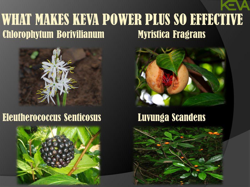 WHAT MAKES KEVA POWER PLUS SO EFFECTIVE Chlorophytum Borivilianum Eleutherococcus Senticosus Myristica Fragrans Luvunga Scandens