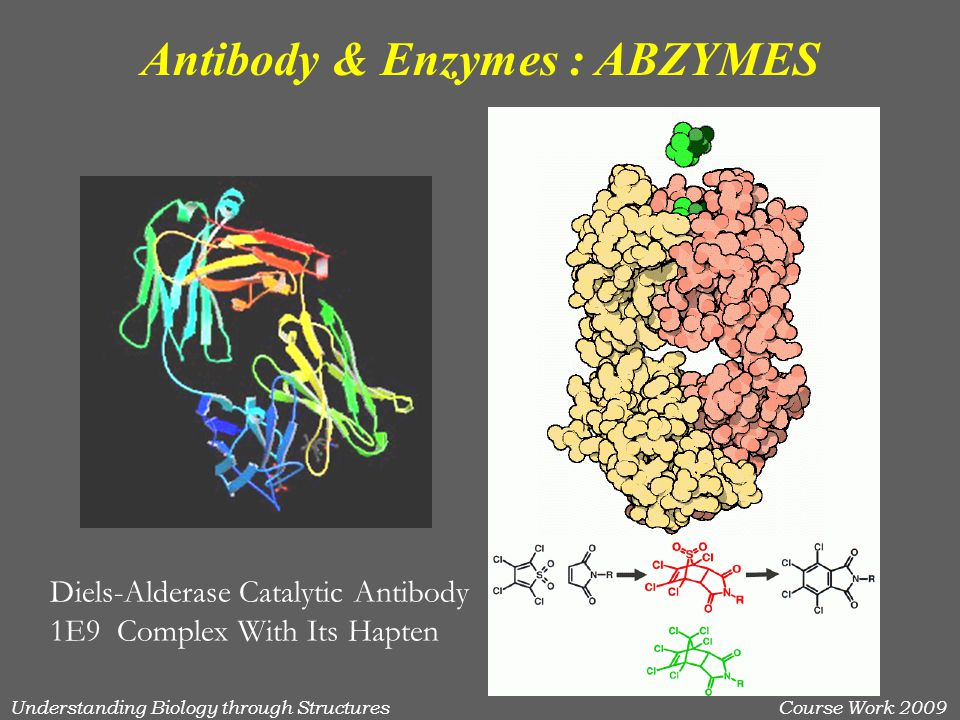 Understanding Biology through StructuresCourse Work 2009 Antibody & Enzymes : ABZYMES Diels-Alderase Catalytic Antibody 1E9 Complex With Its Hapten