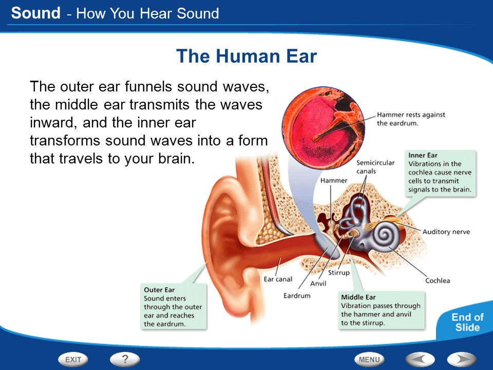 Sound - How You Hear Sound The Human Ear The outer ear funnels sound waves, the middle ear transmits the waves inward, and the inner ear transforms so