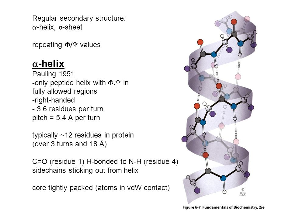 Regular secondary structure:  -helix,  -sheet repeating  values  -helix Pauling 1951 -only peptide helix with  in fully allowed regions -right-handed - 3.6 residues per turn pitch = 5.4 Å per turn typically ~12 residues in protein (over 3 turns and 18 Å) C=O (residue 1) H-bonded to N-H (residue 4) sidechains sticking out from helix core tightly packed (atoms in vdW contact)