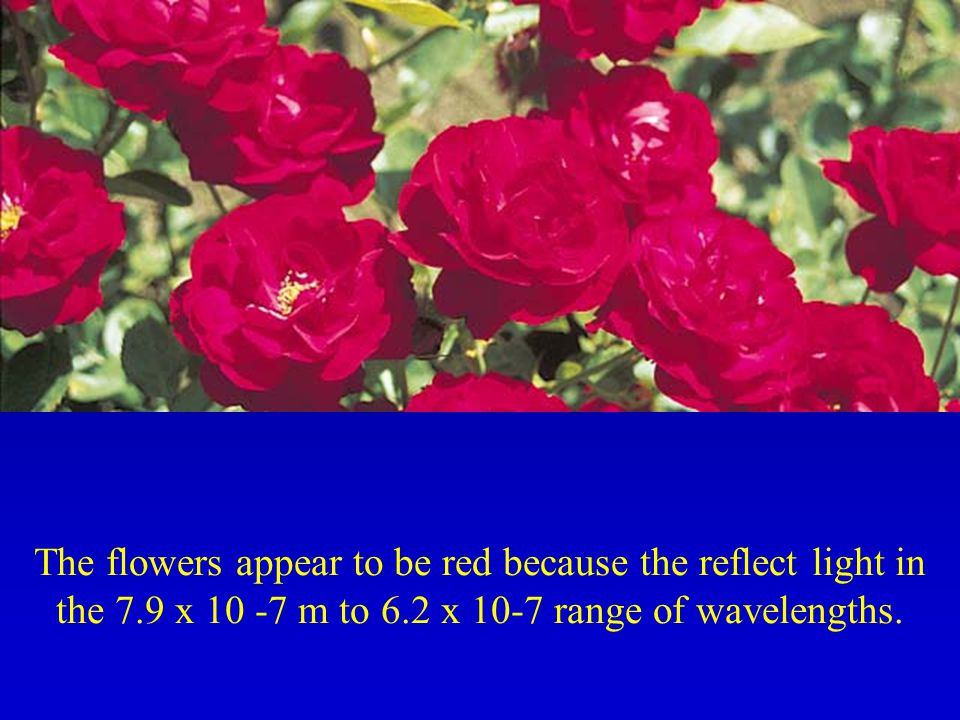 The flowers appear to be red because the reflect light in the 7.9 x 10 -7 m to 6.2 x 10-7 range of wavelengths.