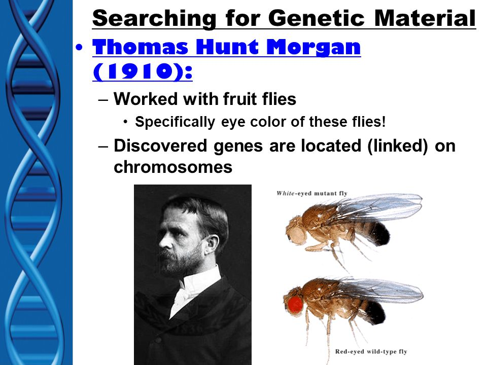 Searching for Genetic Material Thomas Hunt Morgan (1910): –Worked with fruit flies Specifically eye color of these flies.