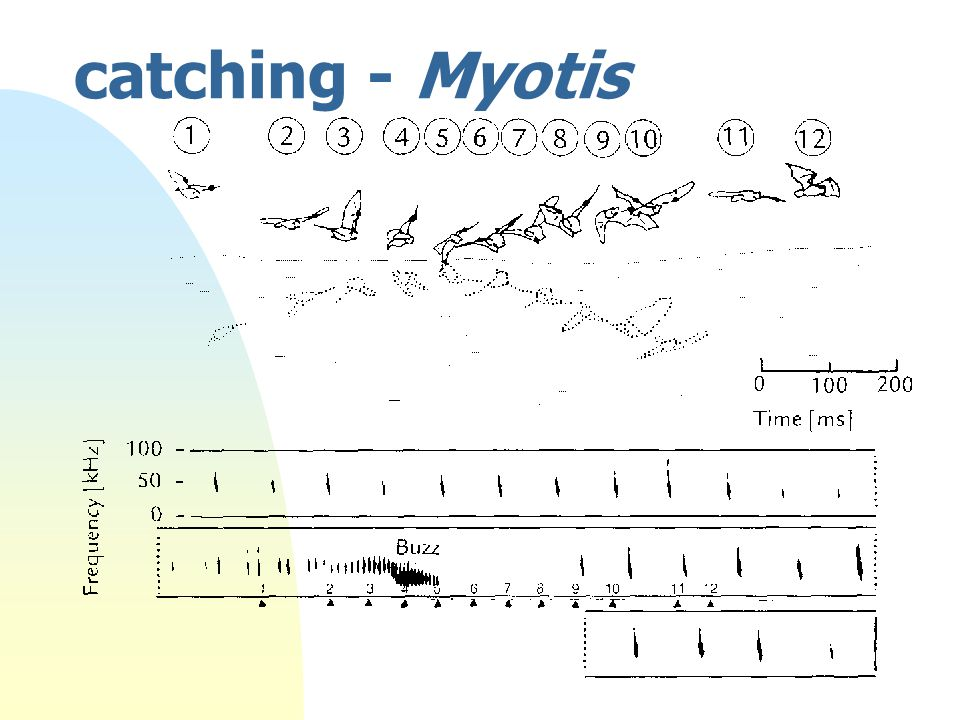 catching - Myotis