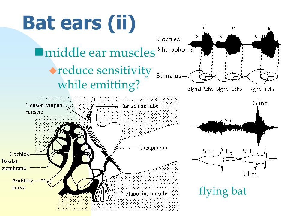 Bat ears (ii) nmiddle ear muscles u reduce sensitivity while emitting flying bat