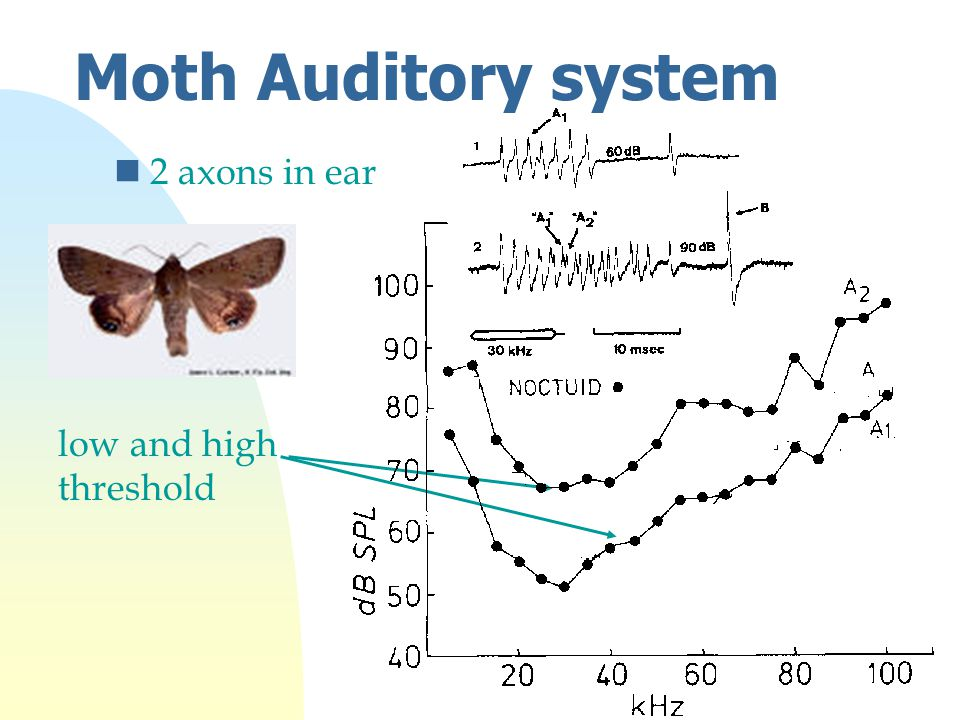 Moth Auditory system n2 axons in ear low and high threshold