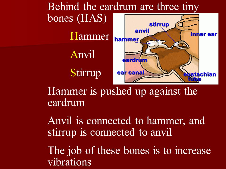 Behind the eardrum are three tiny bones (HAS) Hammer Anvil Stirrup Hammer is pushed up against the eardrum Anvil is connected to hammer, and stirrup is connected to anvil The job of these bones is to increase vibrations