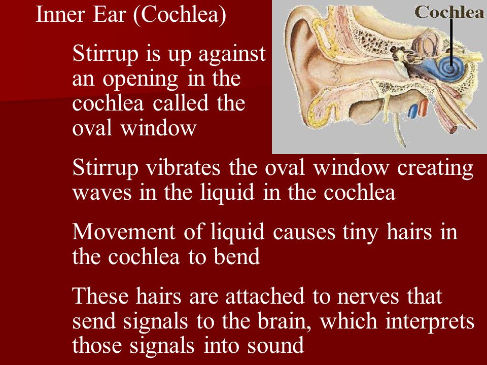 Inner Ear (Cochlea) Stirrup is up against an opening in the cochlea called the oval window Stirrup vibrates the oval window creating waves in the liquid in the cochlea Movement of liquid causes tiny hairs in the cochlea to bend These hairs are attached to nerves that send signals to the brain, which interprets those signals into sound