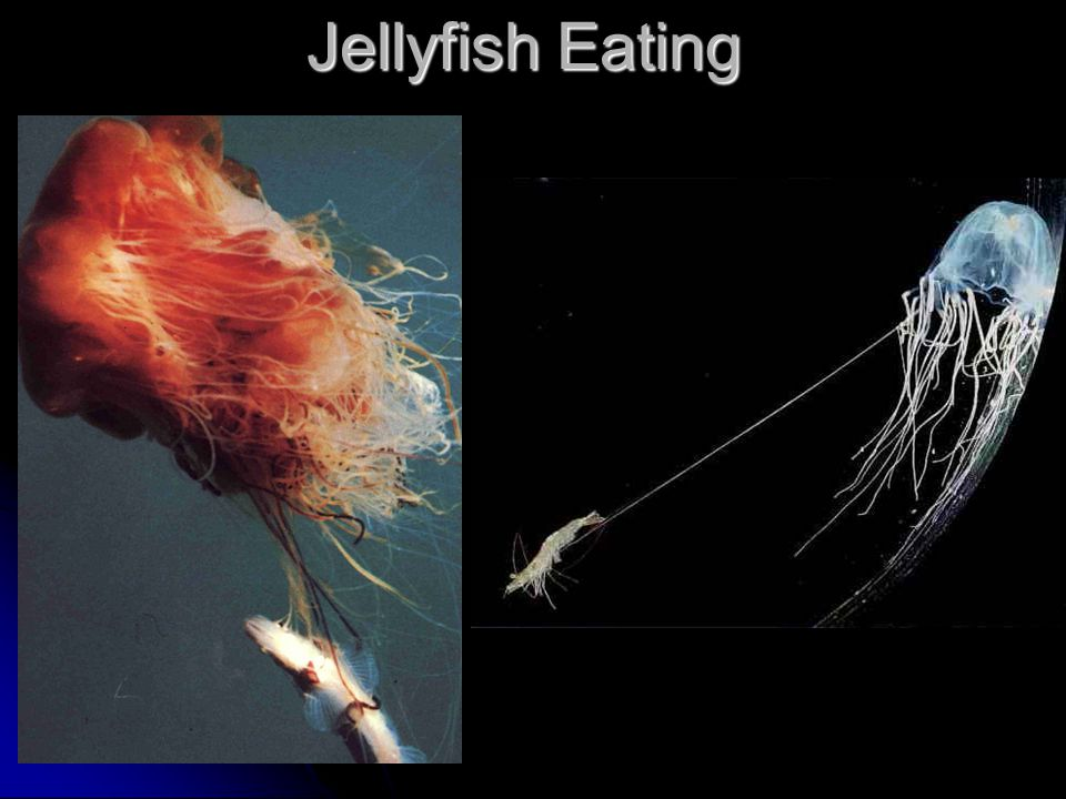 Jellyfish Eating
