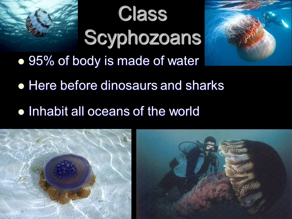 Class Scyphozoans 95% of body is made of water 95% of body is made of water Here before dinosaurs and sharks Here before dinosaurs and sharks Inhabit