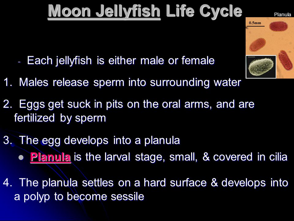 Moon Jellyfish Life Cycle - Each jellyfish is either male or female 1. Males release sperm into surrounding water 2. Eggs get suck in pits on the oral