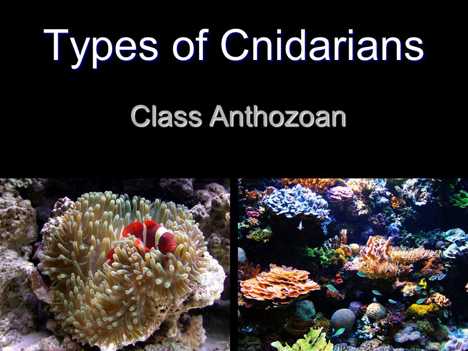 Class Anthozoan Types of Cnidarians