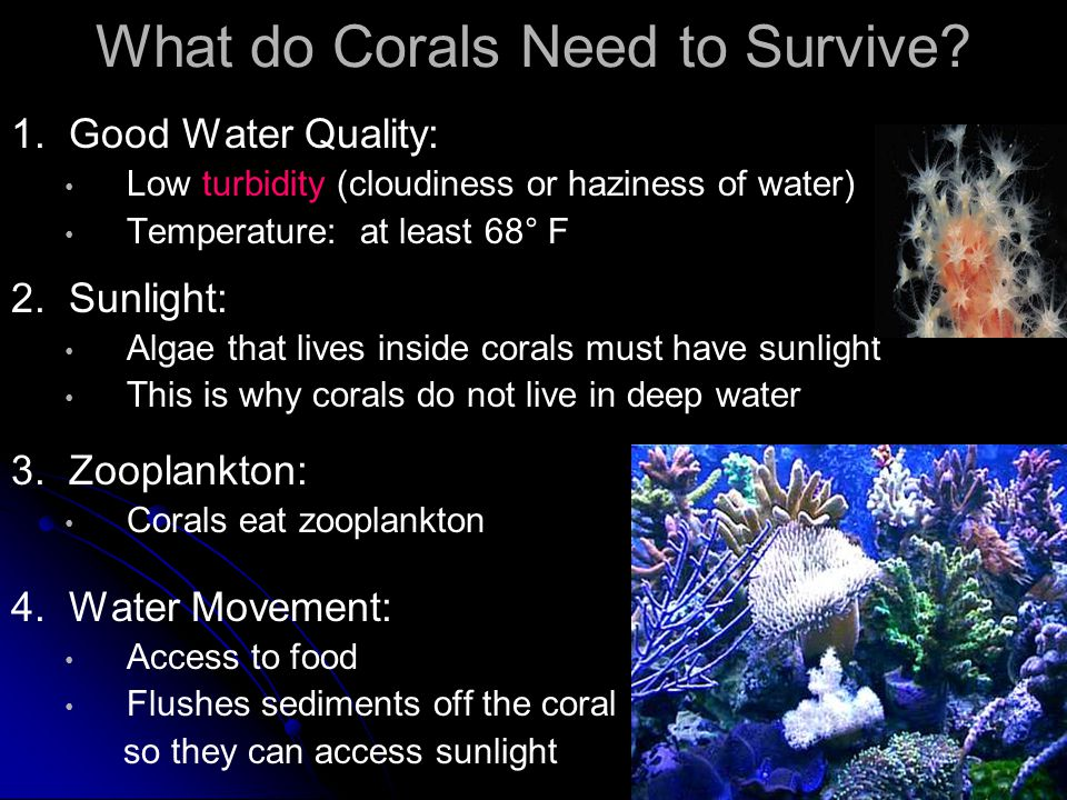 What do Corals Need to Survive? 1. Good Water Quality: Low turbidity (cloudiness or haziness of water) Temperature: at least 68° F 2. Sunlight: Algae