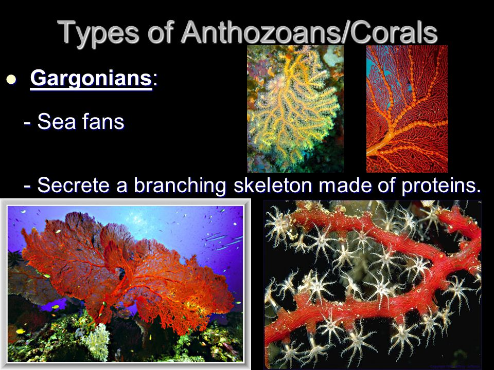 Types of Anthozoans/Corals Gargonians: Gargonians: - Sea fans - Secrete a branching skeleton made of proteins.