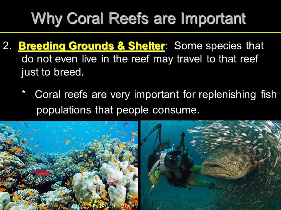 Why Coral Reefs are Important Breeding Grounds & Shelter: 2. Breeding Grounds & Shelter: Some species that do not even live in the reef may travel to