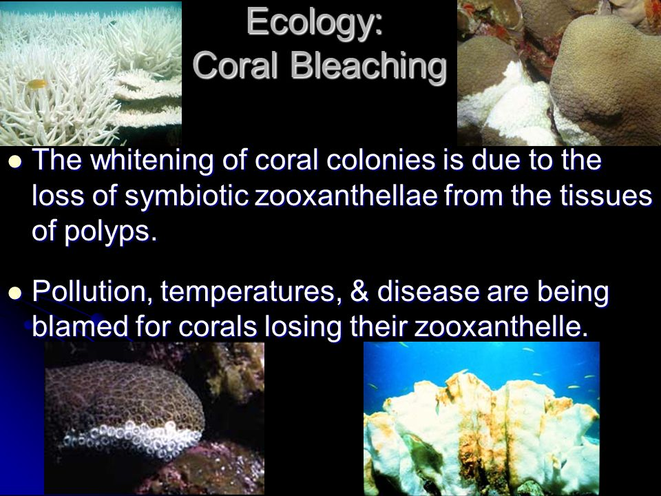 Ecology: Coral Bleaching The whitening of coral colonies is due to the loss of symbiotic zooxanthellae from the tissues of polyps. The whitening of co