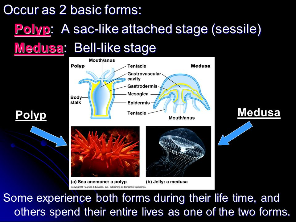 Occur as 2 basic forms: Polyp: A sac-like attached stage (sessile) Medusa: Bell-like stage Medusa: Bell-like stage Some experience both forms during t