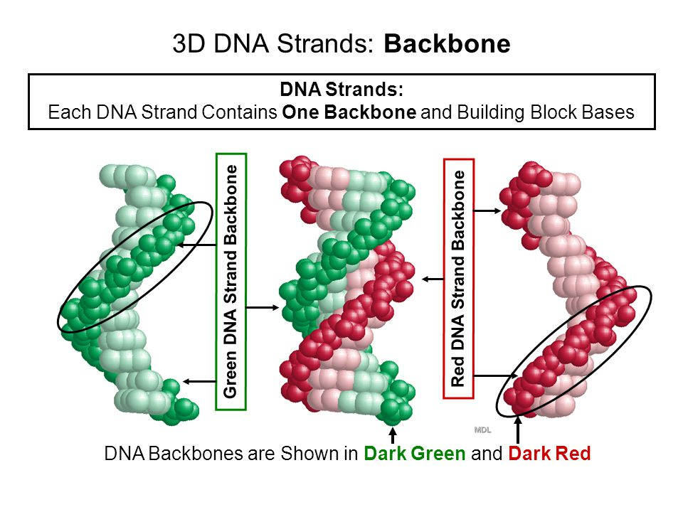 3D DNA Double Helix: Two Long DNA Strands DNA Double Helix: Two DNA Strands Twisted Around Each Other Red DNA Strand Green DNA Strand
