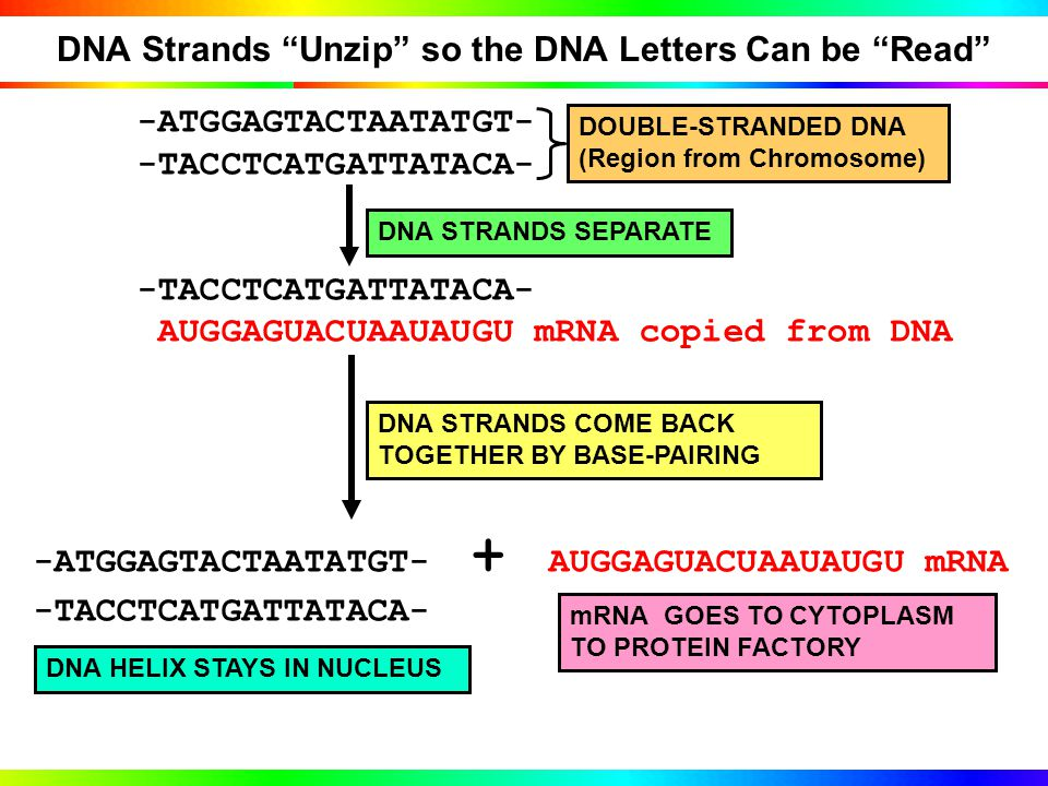 RNA Code has Different Alphabet Than DNA Code (RNA has U instead of T) DNA: ATGGAGTACTAATATGT-3' TACCTCATGATTATACA-5' 3'-TACCTCATGATTATACA-5'DNA STRAND AUGGAGUACUAAUAUGU mRNA copied from DNA RNA has U instead of T When DNA is copied into mRNA (transcription), U is incorporated into mRNA in place of T DNA Base-PairDNA strand has T