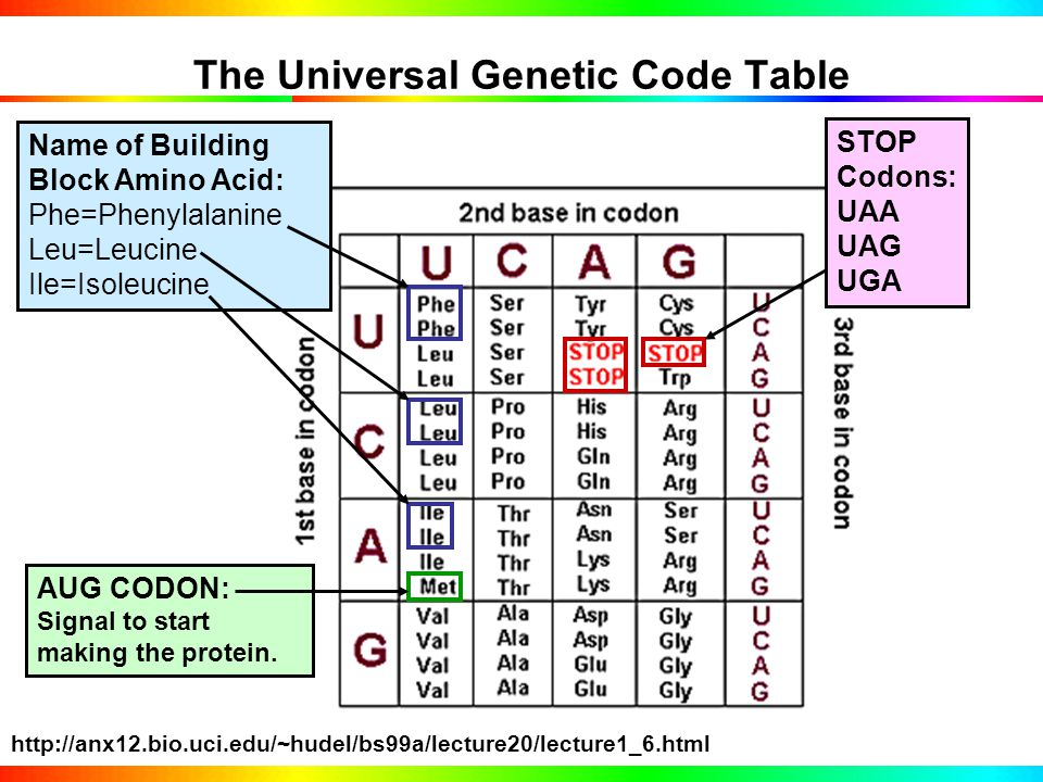 Genetic Code is Written in 3-Letter DNA Words (Codons) CODON MEANINGS: A START PROTEIN SIGNAL: AUG A STOP PROTEIN SIGNAL: UAA, UGA, UAG An amino acid building block of a protein Codons identified in the Genetic Code Table -TACCTCATGATTATACA- DNA(DNA strands separated) -AUGGAGUACUAAUAUGU mRNA (copied from DNA) 5'-AUGGAGUACUAAUAUGU mRNA 5'-AUG GAG UAC UAA UAU mRNA mRNA code read by ribosome in TANDEM triplets called codons.