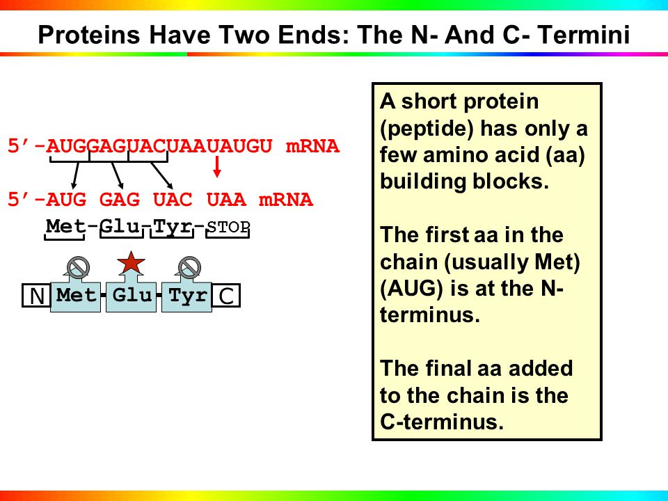 Genetic Code is Written in 3-Letter DNA Words CODON MEANINGS: START PROTEIN HERE : AUG (START) Methionine (Met) STOP PROTEIN HERE : UAA, UGA, UAG Amino acid building blocks: N-Met-Glu-Tyr-C Codons are identified in the Genetic Code Table -TACCTCATGATTATACA- DNA STRAND AUGGAGUACUAAUAUGU mRNA copied from DNA 5'-AUGGAGUACUAAUAUGU mRNA 5'-AUG GAG UAC UAA UAU mRNA Met-Glu-Tyr- STOP mRNA code is read in TANDEM CODONS MetGluTyr NC A SHORT PROTEIN IS A PEPTIDE