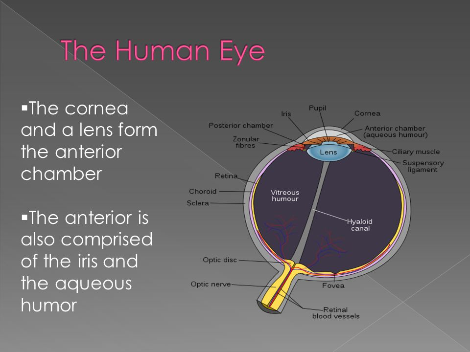  The cornea and a lens form the anterior chamber  The anterior is also comprised of the iris and the aqueous humor