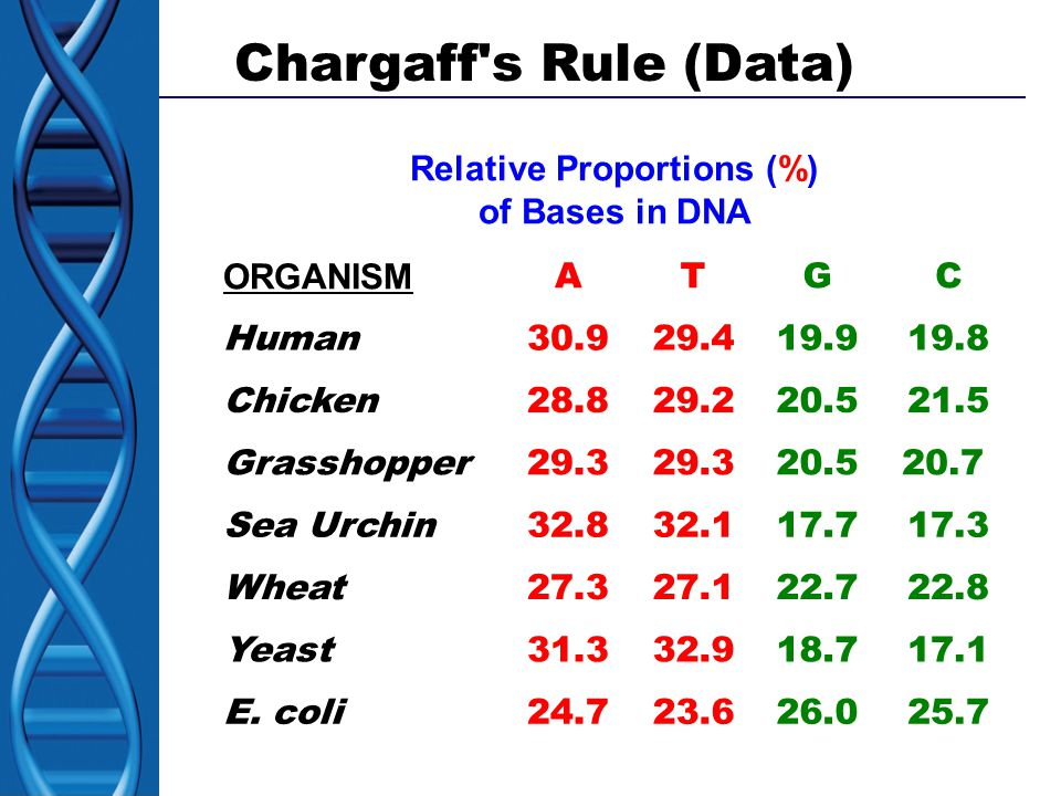 Chargaff s Rule (Data) Relative Proportions (%) of Bases in DNA ORGANISM ATGC Human30.929.419.919.8 Chicken28.829.220.521.5 Grasshopper29.3 20.520.7 Sea Urchin32.832.117.717.3 Wheat27.327.122.722.8 Yeast31.332.918.717.1 E.