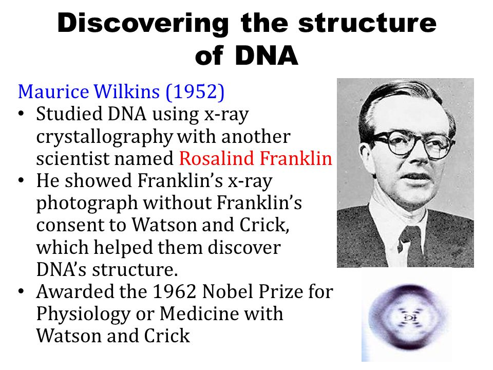 Discovering the structure of DNA Maurice Wilkins (1952) Studied DNA using x-ray crystallography with another scientist named Rosalind Franklin He showed Franklin's x-ray photograph without Franklin's consent to Watson and Crick, which helped them discover DNA's structure.