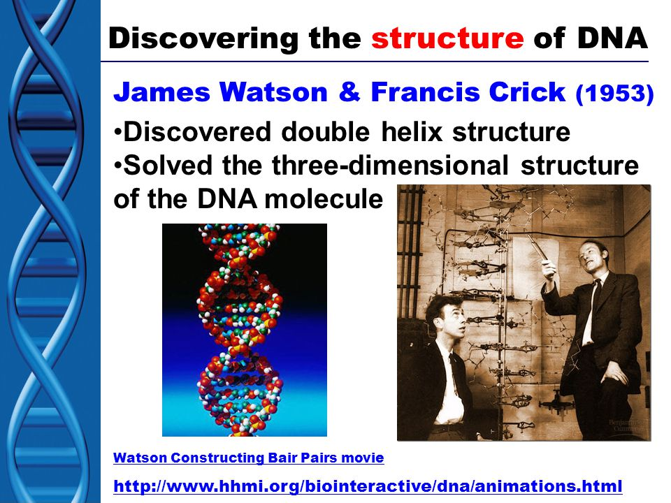 Discovering the structure of DNA James Watson & Francis Crick (1953) Discovered double helix structure Solved the three-dimensional structure of the DNA molecule Watson Constructing Bair Pairs movie http://www.hhmi.org/biointeractive/dna/animations.html