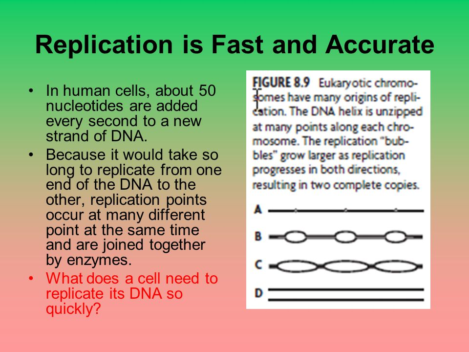 Replication is Fast and Accurate In human cells, about 50 nucleotides are added every second to a new strand of DNA. Because it would take so long to