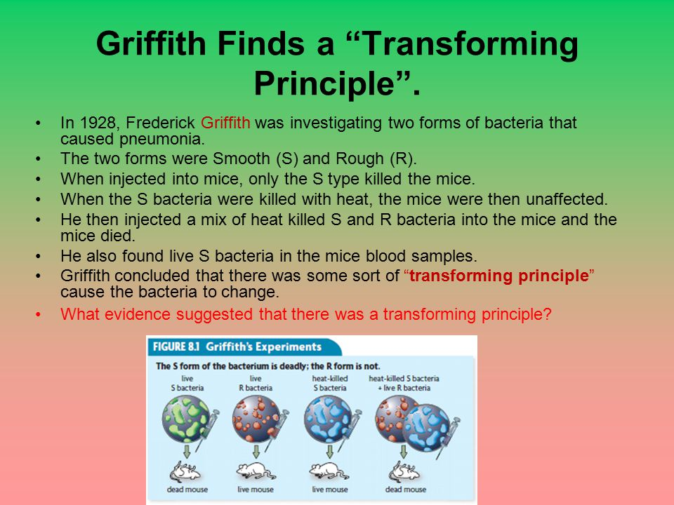 "Griffith Finds a ""Transforming Principle"". In 1928, Frederick Griffith was investigating two forms of bacteria that caused pneumonia. The two forms we"