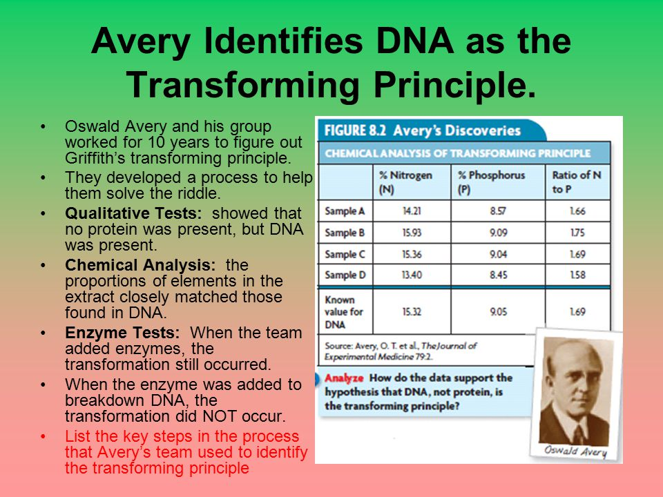 Avery Identifies DNA as the Transforming Principle. Oswald Avery and his group worked for 10 years to figure out Griffith's transforming principle. Th