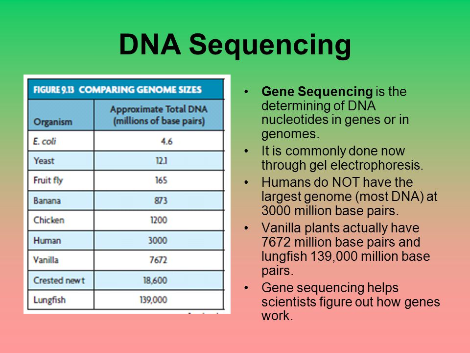 DNA Sequencing Gene Sequencing is the determining of DNA nucleotides in genes or in genomes. It is commonly done now through gel electrophoresis. Huma