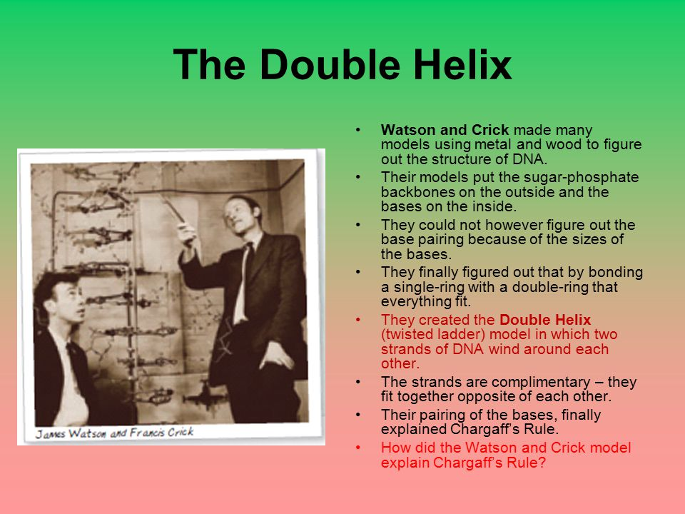 The Double Helix Watson and Crick made many models using metal and wood to figure out the structure of DNA. Their models put the sugar-phosphate backb