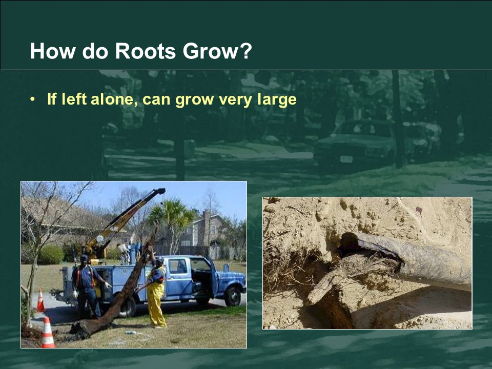 If left alone, can grow very large How do Roots Grow