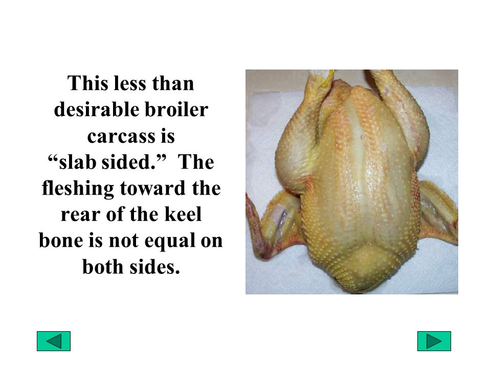 """This less than desirable broiler carcass is """"slab sided."""" The fleshing toward the rear of the keel bone is not equal on both sides."""