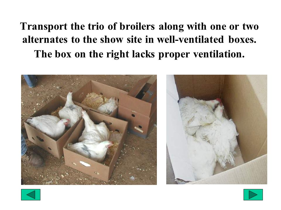 Transport the trio of broilers along with one or two alternates to the show site in well-ventilated boxes.