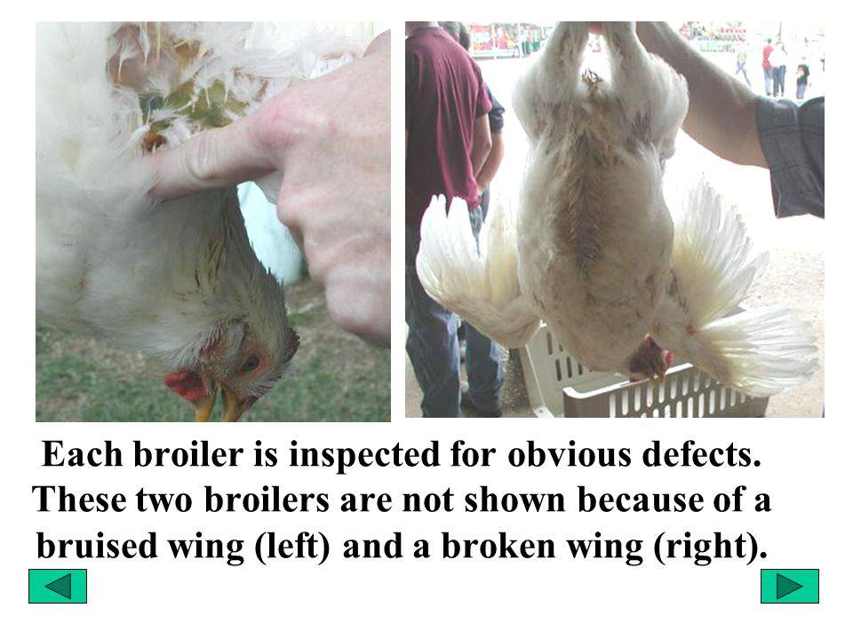 Each broiler is inspected for obvious defects. These two broilers are not shown because of a bruised wing (left) and a broken wing (right).