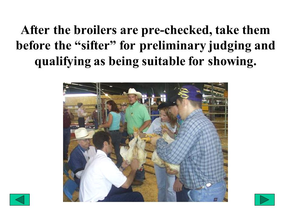 """After the broilers are pre-checked, take them before the """"sifter"""" for preliminary judging and qualifying as being suitable for showing."""