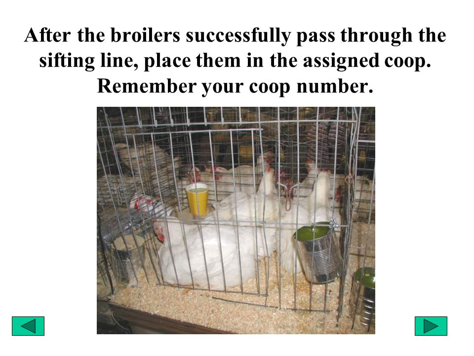 After the broilers successfully pass through the sifting line, place them in the assigned coop. Remember your coop number.