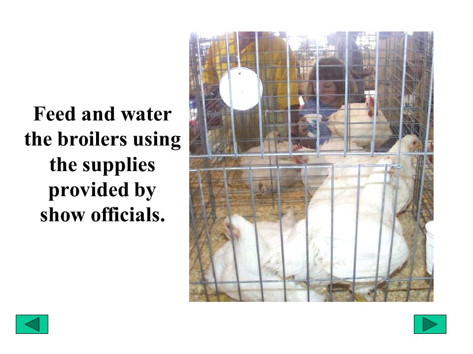 Feed and water the broilers using the supplies provided by show officials.