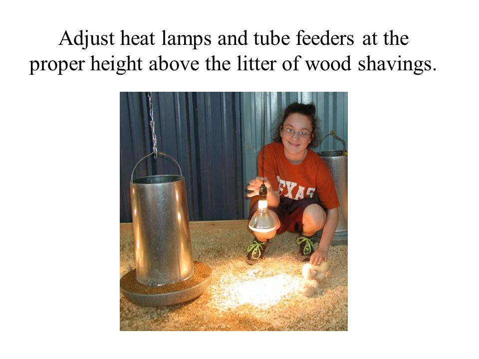 Adjust heat lamps and tube feeders at the proper height above the litter of wood shavings.