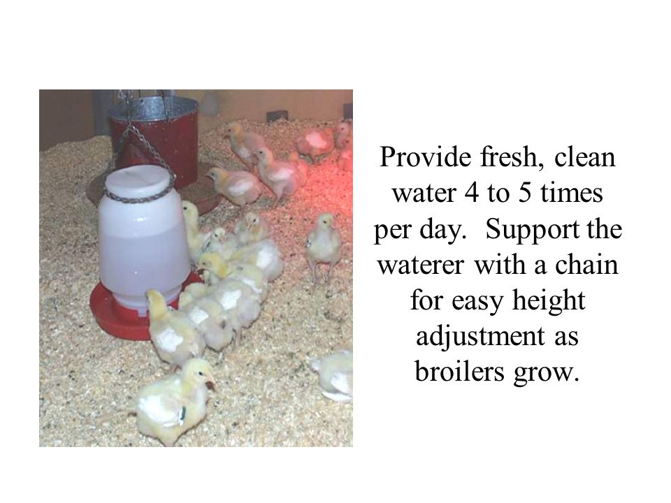 Provide fresh, clean water 4 to 5 times per day. Support the waterer with a chain for easy height adjustment as broilers grow.