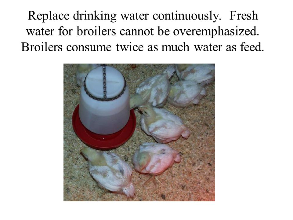 Replace drinking water continuously. Fresh water for broilers cannot be overemphasized.