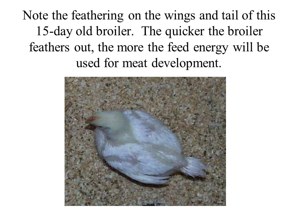 Note the feathering on the wings and tail of this 15-day old broiler. The quicker the broiler feathers out, the more the feed energy will be used for