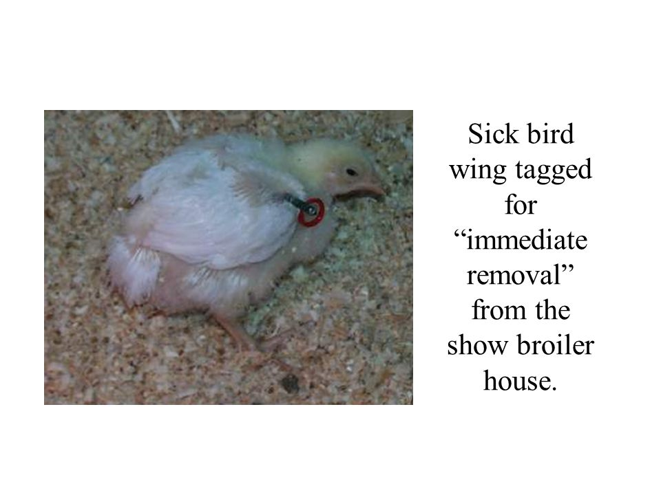 Sick bird wing tagged for immediate removal from the show broiler house.